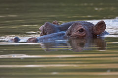 Hippopotamus. In deep water at Lake Panic in the greater Kruger park Royalty Free Stock Image