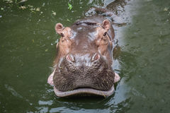 Hippopotamus που κολυμπά στο νερό Στοκ Εικόνες