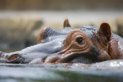 Hippopotamus Royalty Free Stock Photo