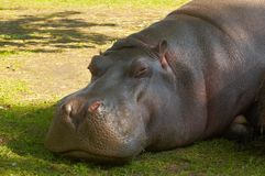 Hippopotamus Image stock