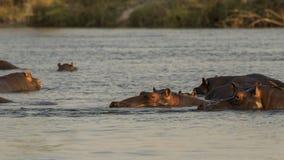 hippopotamus Στοκ εικόνα με δικαίωμα ελεύθερης χρήσης