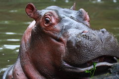 Hippopotamus Photos stock