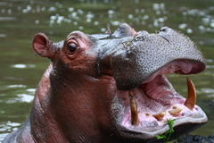 Hippopotamus Imagenes de archivo