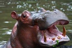 Hippopotamus Images stock