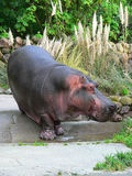 Hippopotamus. Hippo at the zoo Royalty Free Stock Photography
