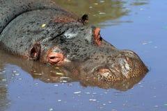 Hippopotamus in acqua Fotografia Stock