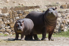Hippopotamus adulto e novo Imagem de Stock