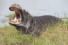 Hippopotamus. Royalty Free Stock Photos
