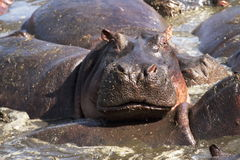 Hippopotamus - Africa royalty free stock photography
