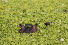 Hippopotamus with African Jacana. In pond covered with Hyacinth weed Royalty Free Stock Photo
