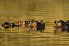 Hippopotamus al crepuscolo Fotografie Stock