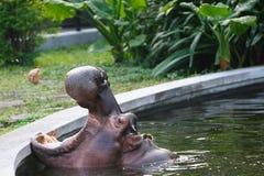 Hippopotamus amphibius Royalty Free Stock Photography