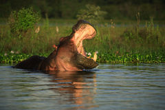 Hippopotamus amphibius Royalty Free Stock Photography