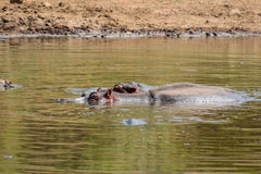 Hippopotamus amphibius Royalty Free Stock Images