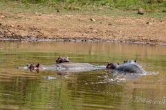 Hippopotamus amphibius Stock Photos