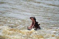 Hippopotamus (amphibius de Hippopotamus) Photographie stock