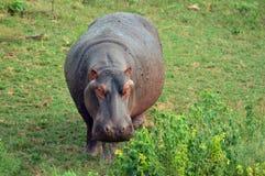 Hippopotamus (amphibius de Hippopotamus) Image libre de droits