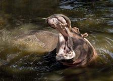 Hippopotamus (amphibius de Hippopotamus) Photographie stock libre de droits