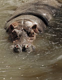 Hippopotamus (amphibius de Hippopotamus) Photos libres de droits