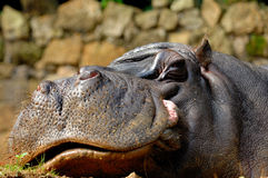 Hippopotamus (amphibius de Hippopotamus) Photo libre de droits
