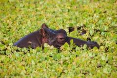 Hippopotamus (amphibius del Hippopotamus) Fotografia Stock