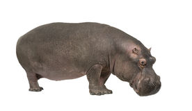 Hippopotamus - amphibius do Hippopotamus (30 anos) Foto de Stock