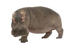 Hippopotamus - amphibius do Hippopotamus (30 anos) Fotografia de Stock Royalty Free