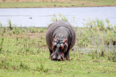 Hippopotamus amphibius Stock Photography