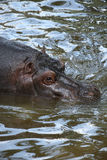 Hippopotamus amphibius Stock Photo