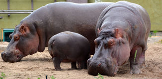 Hippopotamus. Amphibius, or hippo, from the ancient Greek for `river horse` , is a large, mostly herbivorous mammal in sub-Saharan Africa Stock Images