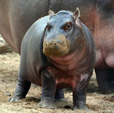 Hippopotamus. Amphibius, or hippo, from the ancient Greek for `river horse` , is a large, mostly herbivorous mammal in sub-Saharan Africa stock photos