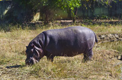 Hippopotamus amphibius Stock Photography