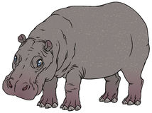 Hippopotamus amphibius or river horse Stock Images