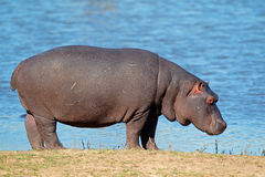 Hippopotamus. ( amphibius), South Africa royalty free stock image