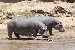hippopotamus anphibius Стоковые Изображения