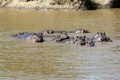 Hippopotamus (anphibius del Hippopotamus) fotografia stock
