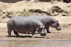 Hippopotamus (anphibius do Hippopotamus) Imagens de Stock