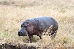 Hippopotamus appoach the brae of river. Hippo (Hippopotamus amphibius kiboko) out of water, Masai Mara National Reserve, Kenya Royalty Free Stock Images