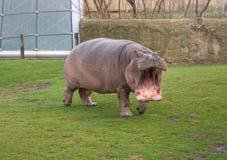 Hippopotamus arrabbiato Fotografia Stock