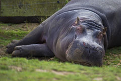 Hippopotamus Asleep Royalty Free Stock Photo