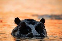 Hippopotamus auf einer Abnahme. Stockbild