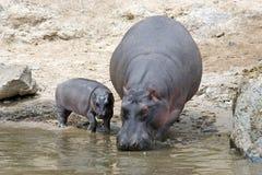 Hippopotamus avec le veau (amphibius de Hippopotamus) image libre de droits