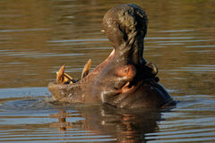 Hippopotamus baîllant Photos libres de droits
