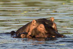 Hippopotamus with baby. The hippopotamus (Hippopotamus amphibius), or hippo, from the ancient Greek for river horse, is a large, mostly herbivorous mammal in Stock Photo