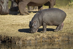 Hippopotamus baby Stock Photo