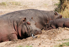 Hippopotamus and baby hippo Royalty Free Stock Photo