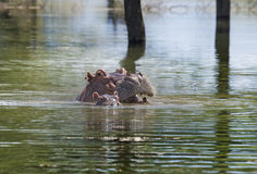 Hippopotamus with baby in lake Royalty Free Stock Images