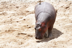 A Hippopotamus on the banck of Mara River Stock Photo