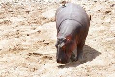 A Hippopotamus on the banck of Mara River Stock Photo