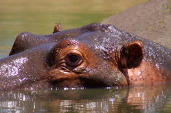 Hippopotamus Stock Photos